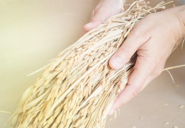 손을 잡고 논 쌀 곡물