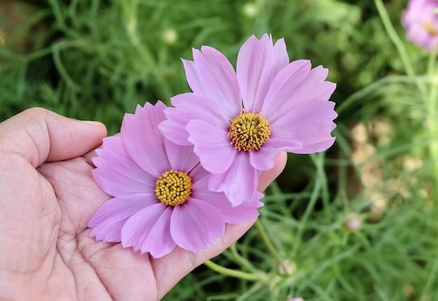 정원에서 핑크 코스모스 꽃을 들고 손