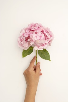 Hand holding pink hydrangea flower on white background