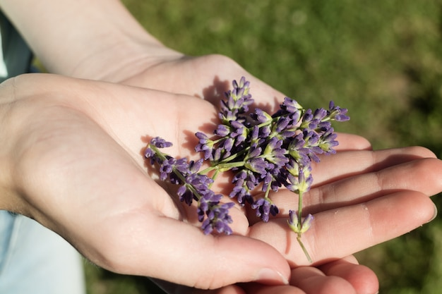 Hand holding purple english lavender flowers