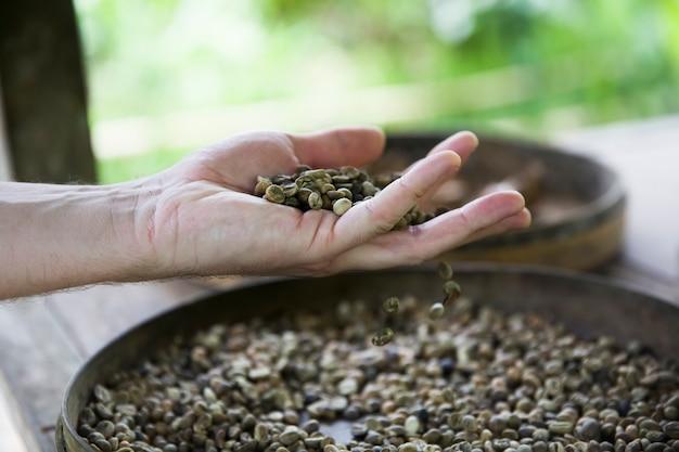 Hand holding raw kopi luwak coffee beans on coffee farm