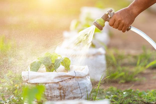 水のホースを保持し、庭に若い豆の水を注ぐ手