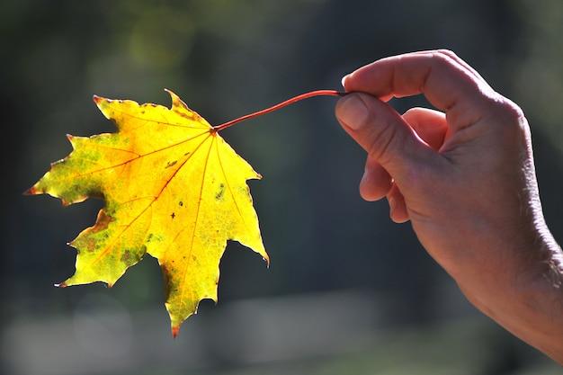 黄色いカエデの葉を日光に逆らって持ち、焦点がぼけた手