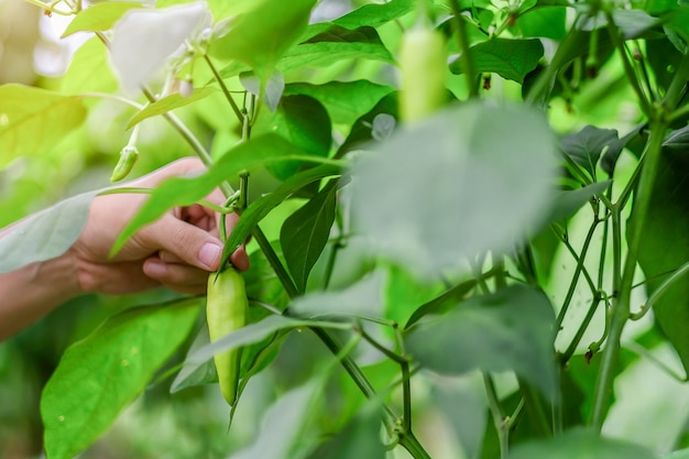 Hand holding young green chili plant on field agriculture in garden
