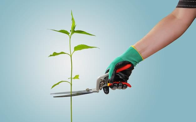 手は庭ばさみを持って、単一の植物を切ります