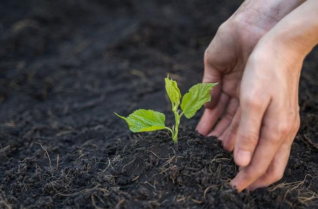 손은 토양에서 어린 식물을 키우고 키우고 있다