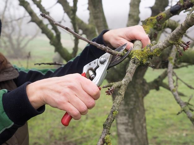霧の日の秋の畑で、剪定ばさみで若い木を剪定する女性の手