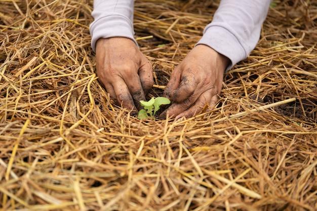 有機農場でレタスを栽培する農家の手。
