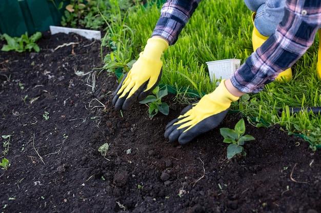 手袋をはめて女性の庭師の手は小さなリンゴの木の苗を保持します
