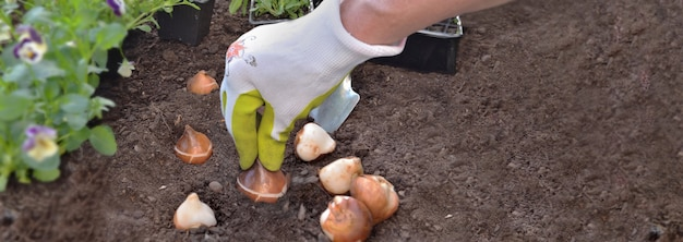 정원의 토양에 튤립 구근을 심는 정원사의 손, 개념 원예