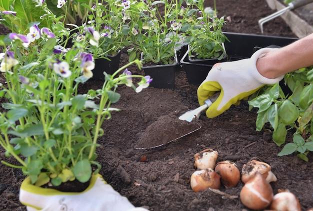 Рука садовника сажает цветы виолы на почву в саду