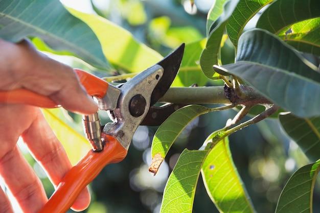 剪定ばさみで庭師の剪定木。