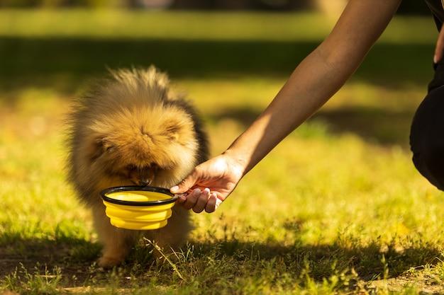 Рука неузнаваемого человека кормит померанского шпица щенок ест сухой корм из миски на открытом воздухе на зеленой траве здоровый питомец фото высокого качества