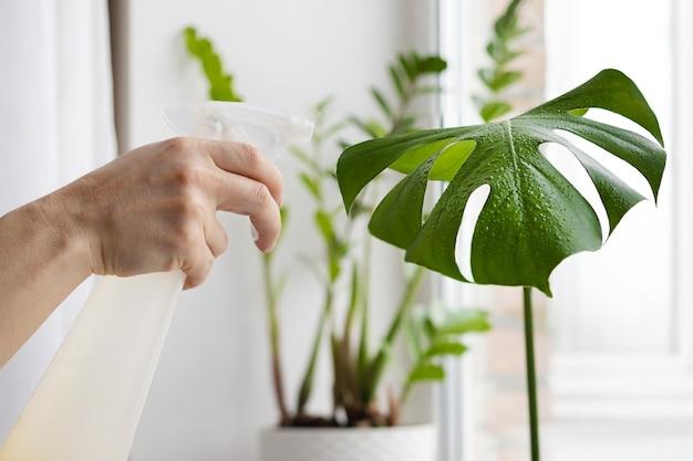 屋内植物の世話をする女性の庭師の手