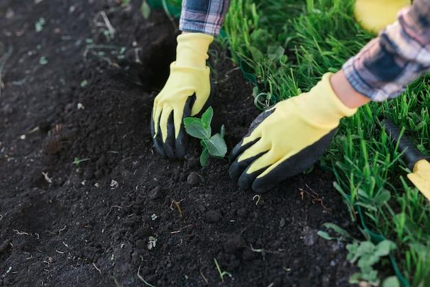 手袋をはめた女性の庭師の手は、植える準備をしている彼女の手に小さなリンゴの木の苗を持っています