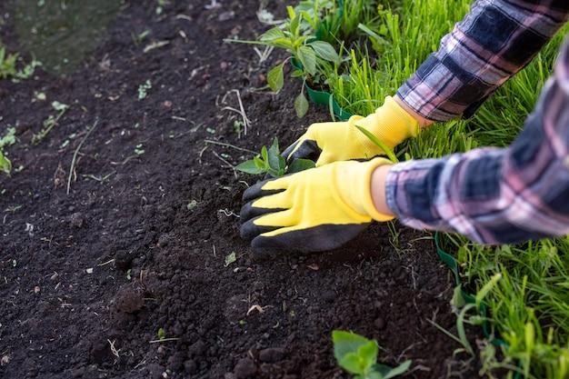 Рука садовника женщина в перчатках держит в руках саженец маленькой яблони