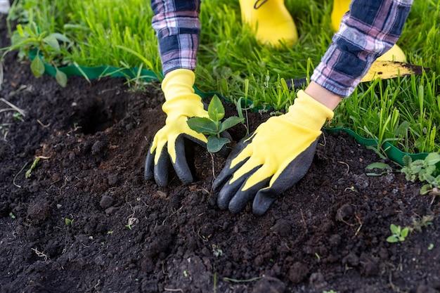 手袋をはめた女性の庭師の手は彼女の手で小さなリンゴの木の苗を保持します