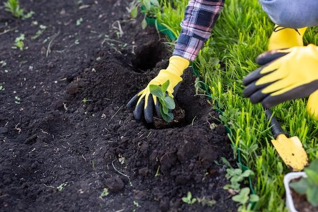 장갑에 여자 정원사의 손은 그녀의 손에 작은 사과 나무의 모종을 보유