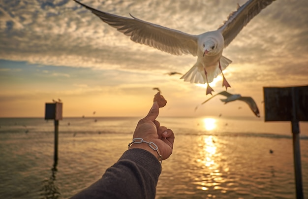 The hand of the person who filed the food to the seagulls flying hover come around to eat.