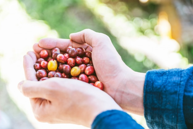 Hand picked ripe red arabica coffee berries in hands.