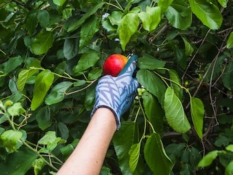 Hand picking a ripe red apple from tree