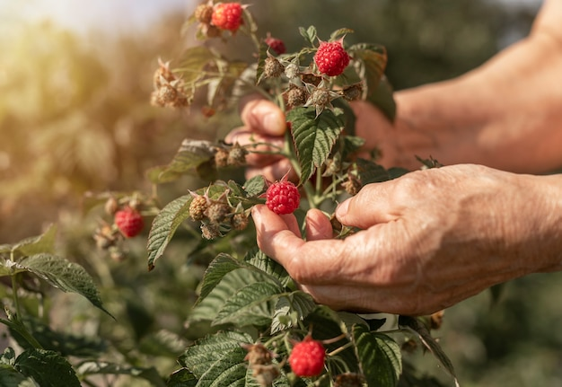 Hand picking and collecting raspberries from garden bush red berry on branch close up