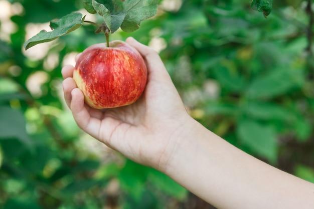木の枝から赤い熟したリンゴを手摘み