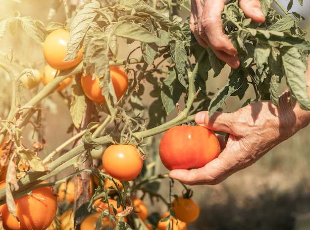 Рука сбор спелых помидоров из ветки овощного растения крупным планом