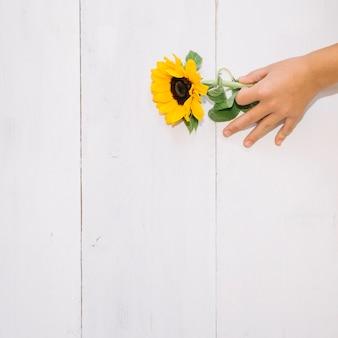 Hand placing sunflower
