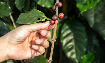 Hand putch coffee seed on branch of coffee tree