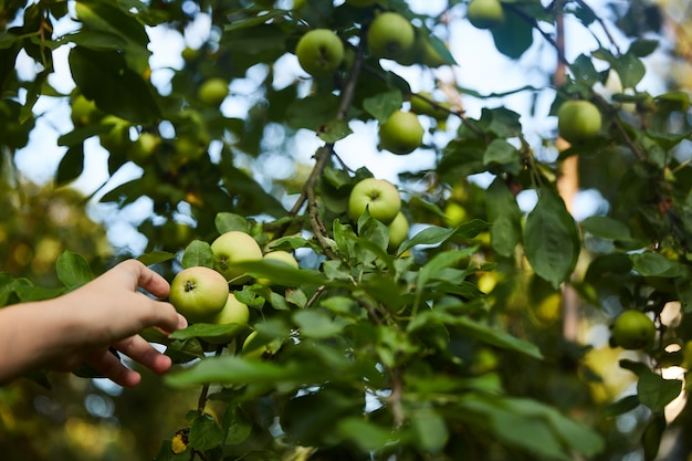 Hand reaches for an apple growing on a tree