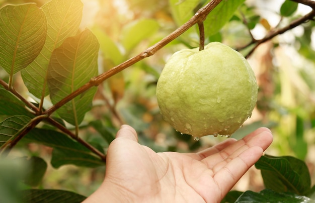 Hand reaching fresh guava in organic farm