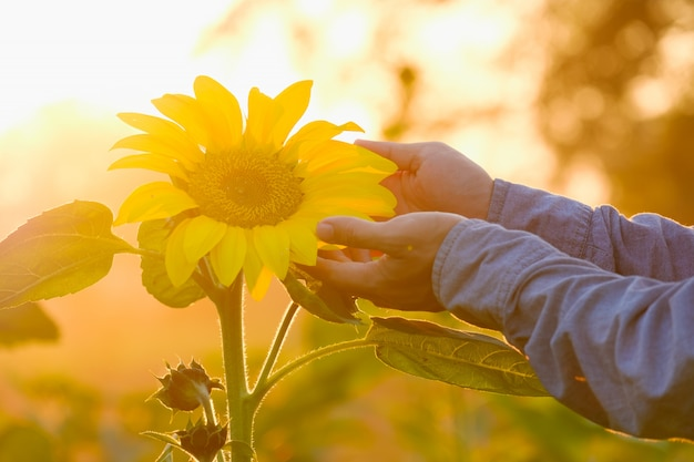Hand and sunflower blooming in the garden with sun light