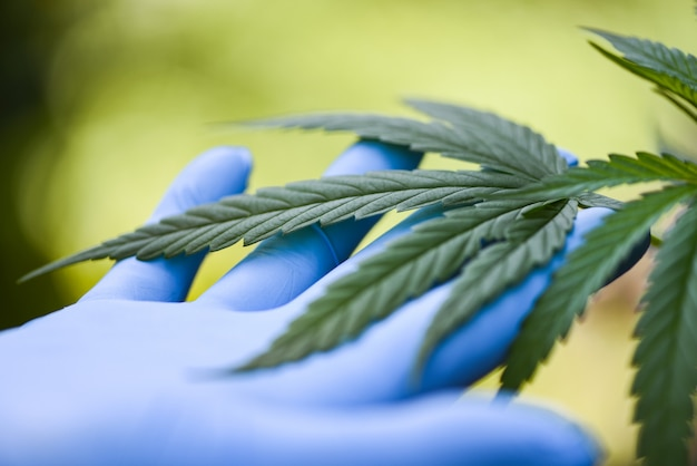 Hand touch marijuana leaves cannabis plant tree growing on green background