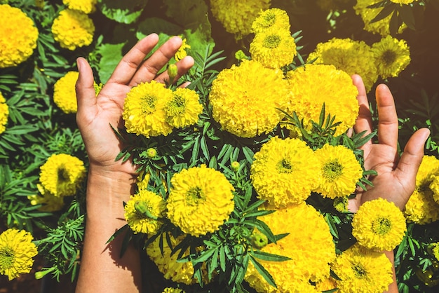 Hand touch yellow flower. flowers tagetes erecta. thailand