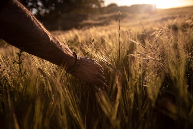 Hand touching the wheat at sunset