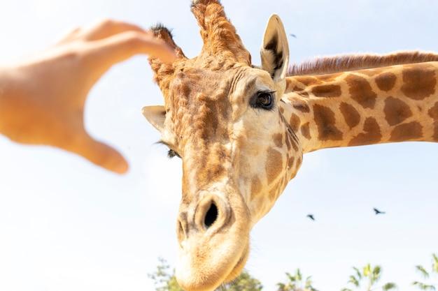 A hand trying to caress a giraffe
