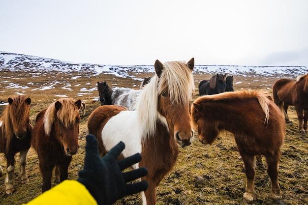 アイスランドの草と雪に覆われたフィールドでシェットランドポニーに触れようとする手