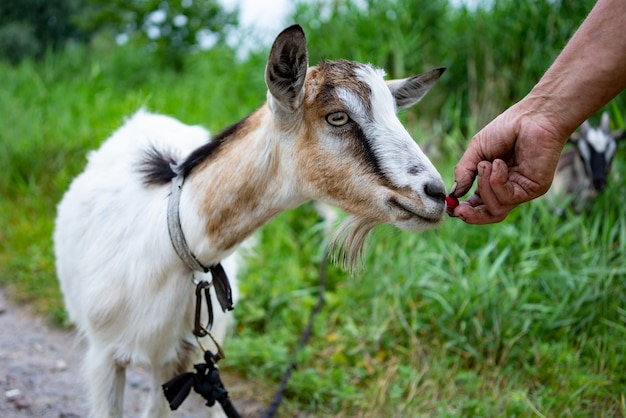 Hand of unrecognizable farmer holding cherry feeding young hairy goat