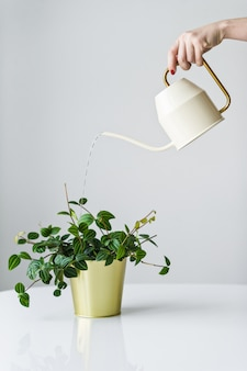Hand watering from a watering can home plant in a gold pot.