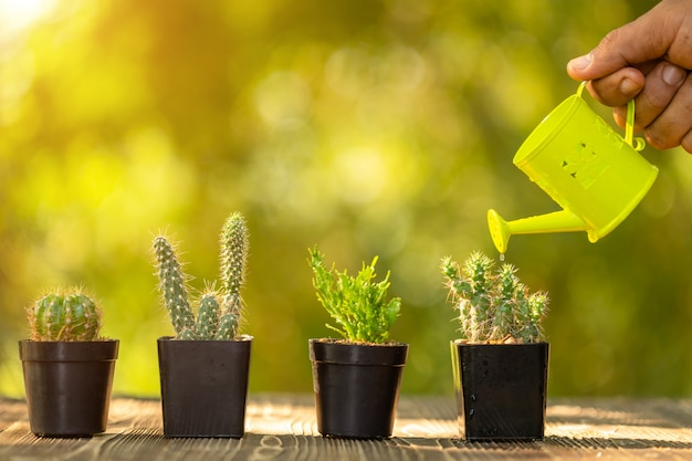 Hand watering to set of mini cactus in black plastic planting pot on wooden table, green nature blur background