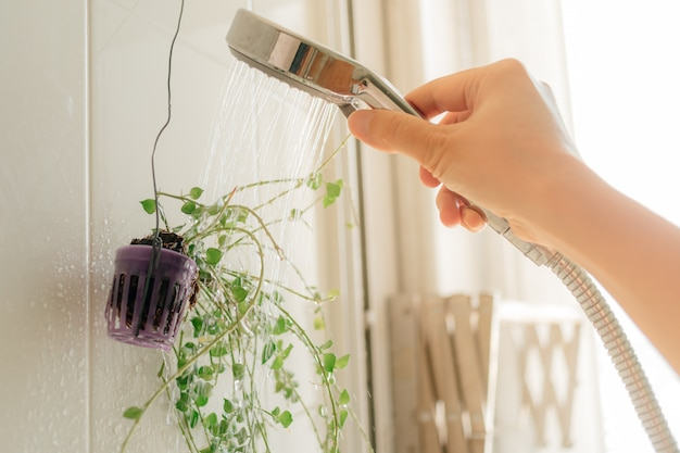 Hand watering small plant with shower in the bathroom.