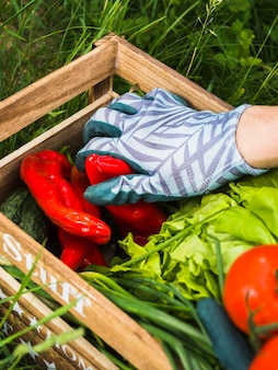 Hand wearing gloves holding fresh red pepper in vegetable crate