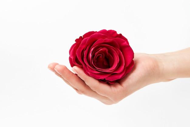 コピースペースと白い背景の上のピンクのバラの手