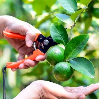 Hand with scissor havested lime in organic orchard.