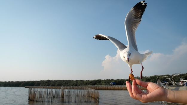 The hand of a woman who feeds the seagulls to eat at the bang pu recreation center in samutprakarn,