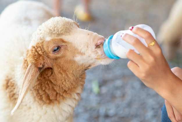 Hand of women is feeding milk bottle for  sheep in the farm. feed baby sheep with milk fed from bottle.