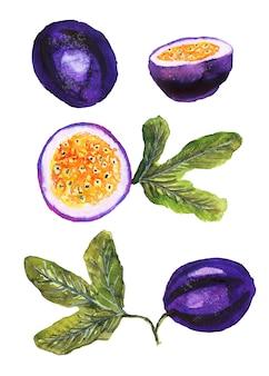 白で隔離の葉と手描きの水彩画の熟したパッションフルーツ