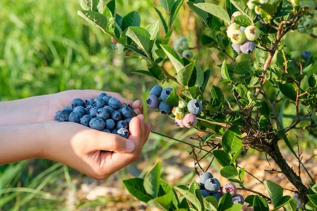 Handful of fresh ripe organic blueberries closeup blueberry bush and hand