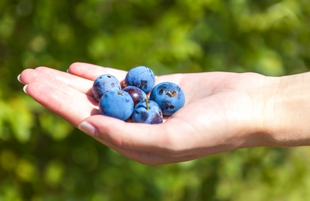 Handful of large ripe blueberries in hand